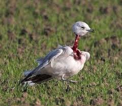 zombie-pigeon